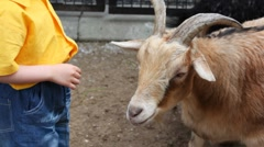 Little boy in stand near white goat at village Stock Footage