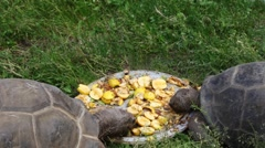 Two big turtles eat apples on plate in grass Stock Footage