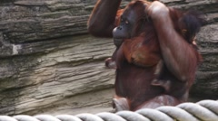 Stock Video Footage of mother orangutan sit and clinging to rope with child, then they go, another ape