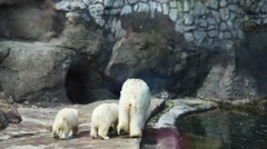 Polar bear with two children go to cave in zoo Stock Footage