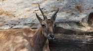 Stock Video Footage of one adult antelope that chew in zoo