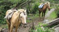 Horses on the Inca Trail Stock Footage