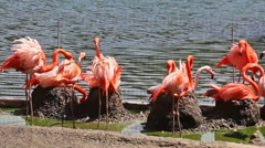 Group of flamingos have rest and play near pond Stock Footage