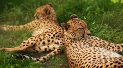 Two adult cheetah lies on green grass at zoo Stock Footage