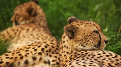 Two big adult cheetah lies on green grass at zoo Stock Footage