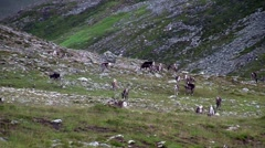 Reindeer graze on the tundra, Norway Stock Footage