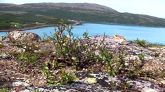 Dwarf birch growing on the rock Stock Footage