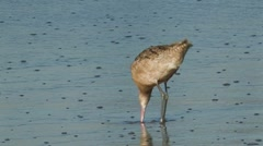 Marbled Godwit 3 Stock Footage