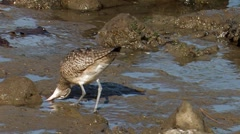 Whimbrel 1 Stock Footage