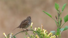 Song Sparrow 4 - stock footage