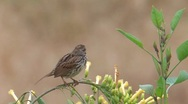 Stock Video Footage of Song Sparrow 4