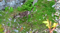 Reindeer graze on the mountains, Norway Stock Footage