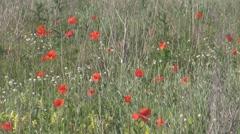 Beautiful poppies Stock Footage