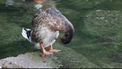 A duck standing in shallow water. Stock Footage