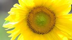 Big sunflower 2 - stock footage