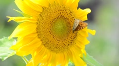 Butterfly on big sunflower - stock footage