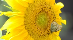Butterfly and sunflower macro shooting - stock footage