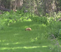 Brown Bear Yosemite National Park - stock footage