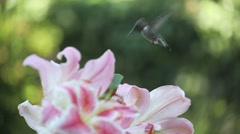 Hummingbird in the lilies Stock Footage