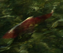 Alaskan Salmon Swimming - stock footage