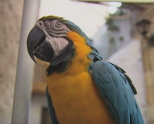 Close up of perching blue macaw parrot Stock Footage