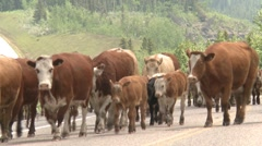Agriculture, Cattle drive in the mountains along a paved road Stock Footage