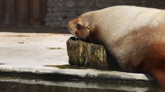 Walrus lying on beach and having rest near water in zoo Stock Footage