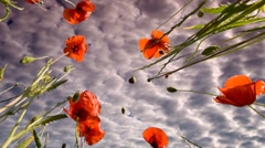 Clouds and poppies Stock Footage