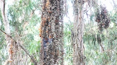 Monarch butterflies gather around a tree in a forest. Stock Footage