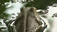 Pond frog closeup.m2ts Stock Footage
