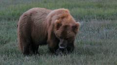 Bear Eats Grass Close Up Stock Footage