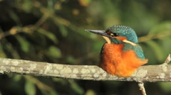 Common Kingfisher taking a sun bath Stock Footage