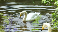 Stock Video Footage of Swans.