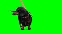 Badger-dog stands Stock Footage