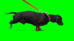 Badger-dog pulls dog's leash Stock Footage