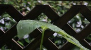 Stock Video Footage of Rainy Days On Leaf 2