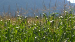 Dolly shot, summer rural corn field, #2 Stock Footage