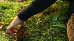 Picking Funnel Chanterelles Stock Footage