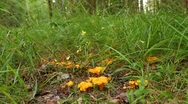 Stock Video Footage of Picking Chanterelles