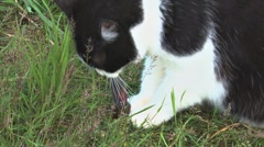 Cat Eating a Mouse 1 - stock footage
