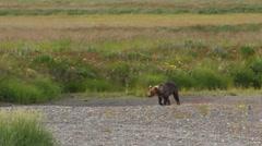 Bear Cub Runs Jumps In Water Stock Footage