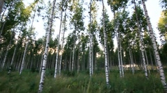 Birch forest 2 Stock Footage