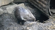Stock Video Footage of porcupine
