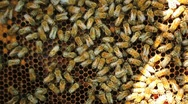 Worker bees on honeycomb Stock Footage