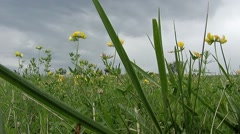 Green Field with yelow flowers Stock Footage