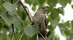 Sparrow on birch tree close-up Stock Footage