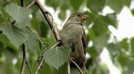Stock Video Footage of Sparrow on birch tree close-up