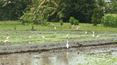 White Ibis birds stalking the field for food Stock Footage