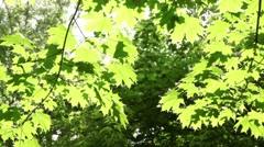 Maple leaves swaying in the wind lit by the sun Stock Footage