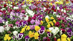 Many colorful pansy flowers swaying in wind Stock Footage